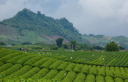 People harvesting tea on the field in Moc Chau, Vietnam. Moc Chau Plateau is known as one of the most attractive tourists destination in Northern Vietnam.
