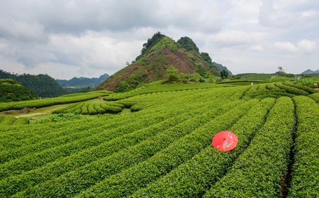Tea plantation with an umbrella on Moc Chau Plateau in Vietnam. Moc Chau plateau, located about 200 km west of Hanoi is one of Vietnam most attractive tourist destinations.