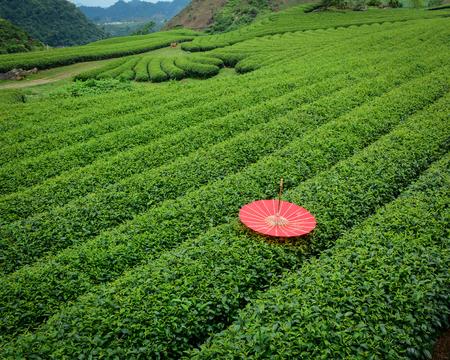 Tea plantation on Moc Chau Plateau in Vietnam. Moc Chau Plateau is in Moc Chau District, Son La Province, about 200 kilometres northwest of Hanoi. Stock Photo