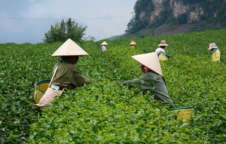 Women harvesting tea on the field in Moc Chau, Vietnam. Moc Chau Plateau is known as one of the most attractive tourists destination in Vietnam.
