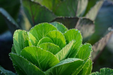 Fresh Cabbage (brassica oleracea) plant leaves at the sunny day. Shallow focus. Stock Photo