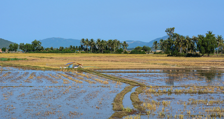 Empty rice field after harvesting at sunny day in Nha Trang, Vietnam.