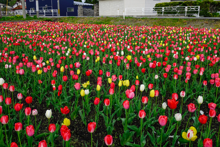 Tulip flowers blooming on the field in Tohoku, Japan. Tohoku is hilly or mountainous, with the Ou Mountains running north-south.