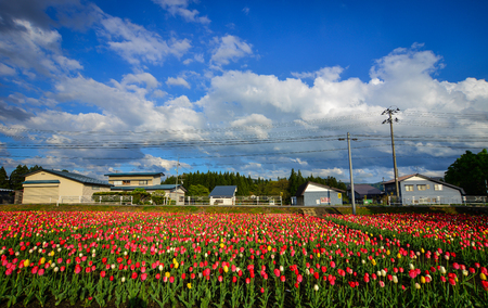 Tulip flowers on the field at sunny day in Tohoku, Japan. Tohoku is hilly or mountainous, with the Ou Mountains running north-south.