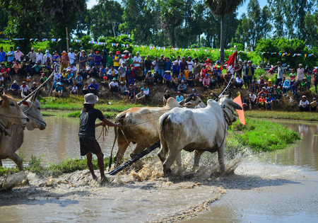 Mekong Delta, Vietnam - Sep 3, 2017. Cow racing on rice field at sunny day in Mekong Delta, Vietnam. The Festival is held on Sene Dolta day of the Khmer ethnic minority people. Editorial