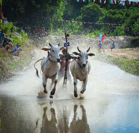 Mekong Delta, Vietnam - Sep 3, 2017. Cow racing on rice field at sunny day in Mekong Delta, Vietnam. The annual Bay Nui ox race in An Giang province of southern Vietnam. Editorial