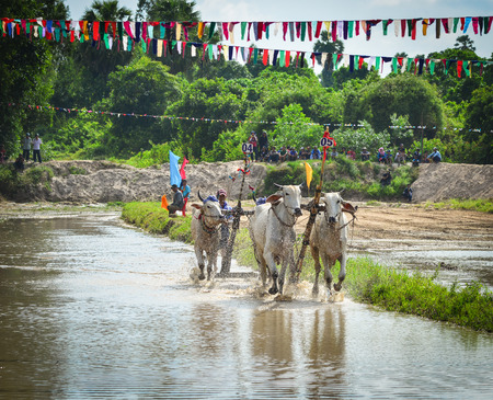 Mekong Delta, Vietnam - Sep 3, 2017. Cow racing on rice field at sunny day in Mekong Delta, Vietnam. Cow Racing has existed for a long time in the Seven Mountains Region of An Giang Province.