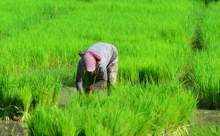 A Khmer woman working on rice field in An Giang, Vietnam. An Giang is located in the Mekong Delta, in the southwestern part of the country, sharing a border with Cambodia.