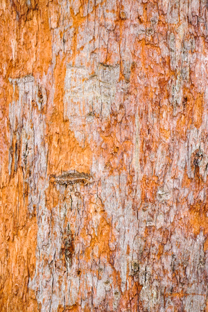 Close-up of pine tree bark at forest in Cameron Highlands, Malaysia.