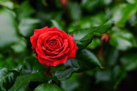 A red rose blooming at the garden in Christchurch, New Zealand.