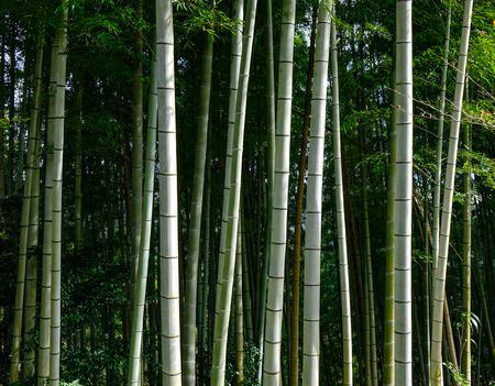 Bamboo forest of Kumano Kodo pilgrimage routes in Kansai, Japan.