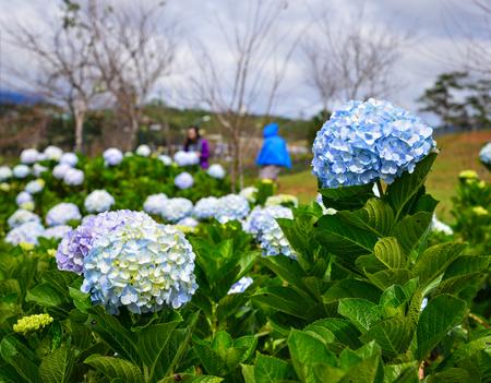 Hydrangea flowers (Hydrangea macrophylla) at sunny day in a garden.