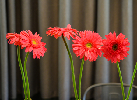 Gerbera flowers for decorations with curtain background.