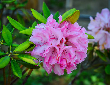 Pink Rhododendron flowers at the botanic garden in Ashikaga, Japan.