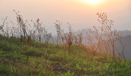 Dried grass on the hill at sunrise in Dalat, Vietnam. Stock Photo