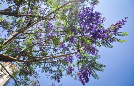 Jacaranda mimosifolia with purple-blue flowers at spring time. Stock Photo