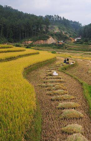 People working on rice field in Ha Giang, North of Vietnam.