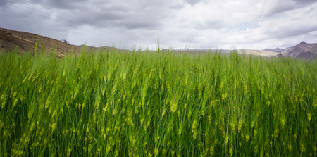 Green wheat field at spring time in Ladakh, India.