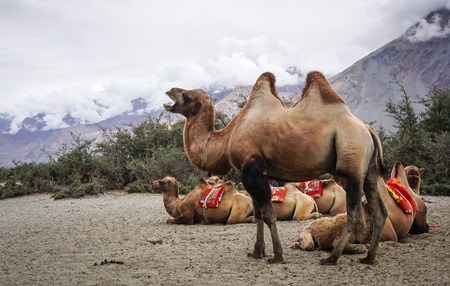 Camels in Nubra Valley, Ladakh, North of India.