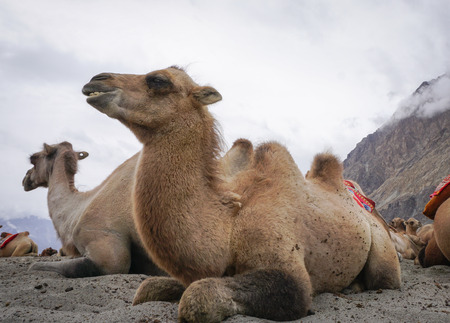 Camels relaxing in Nubra Valley, Ladakh, North of India. Nubra Valley lies in the old Silk Route from South to Central Asia. Stock Photo