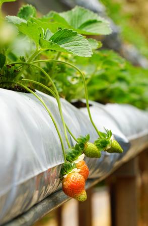 Organic strawberry farm at spring in Cameron Highlands, Malaysia.