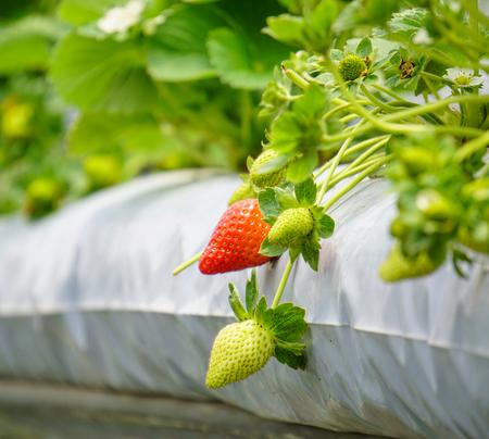 Strawberry fruits at plantation in Cameron Highlands, Malaysia.