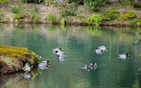 Ducks swimming on the pond in Japanese zen garden.