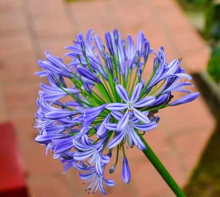 Agapanthus (Midnight Star), purple flower in the garden.