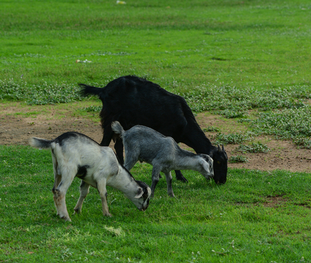 Goats eating grass on the field at sunny day in New Delhi, India.