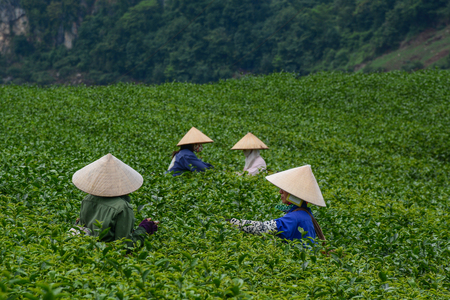 Moc Chau, Vietnam - May 26, 2016. Women working on tea field in Moc Chau, Vietnam. Vietnam has a huge potential in agro-products such as paddy rice, tea, coffee.