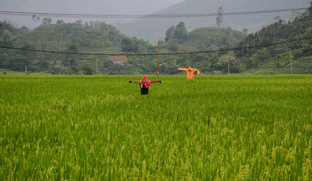 Scarecrow on rice field at summer day in Northern Vietnam.