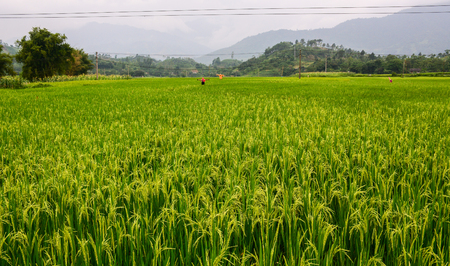 Rice field at summer day in Sapa, Northern Vietnam.