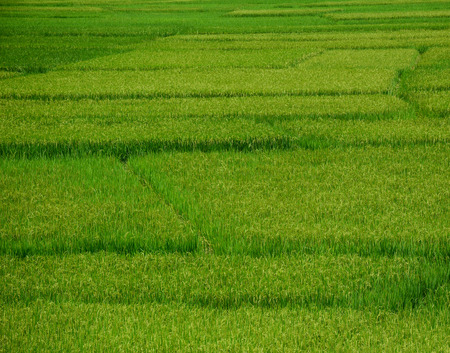 Rice field at summer in Hoa Binh Province, Northern Vietnam.