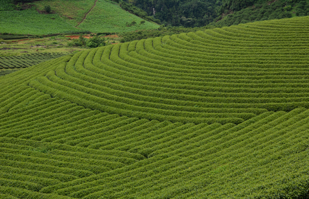 Tea plantation at summer day in Moc Chau, Vietnam. Vietnam is one of the largest and oldest tea-producing countries in the world.