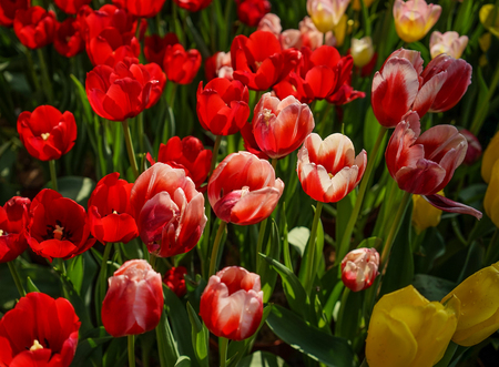 Tulip flowers blooming at sunny day in botanic garden. Фото со стока