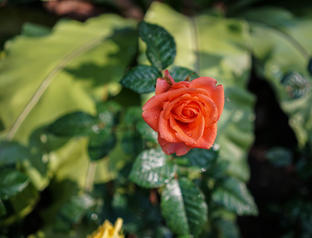 A red rose flower blooming at the city park.