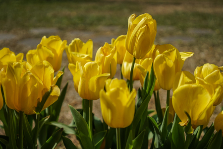 Tulip flowers blooming under sun light in botanic garden. Фото со стока
