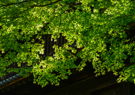 Green maple trees with ancient palace in Aomori, Japan. Stock Photo