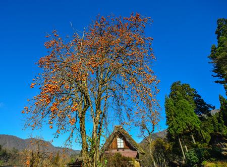 Persimmon tree with fruits at Shirakawa-go Historic Village in Gifu, Japan.
