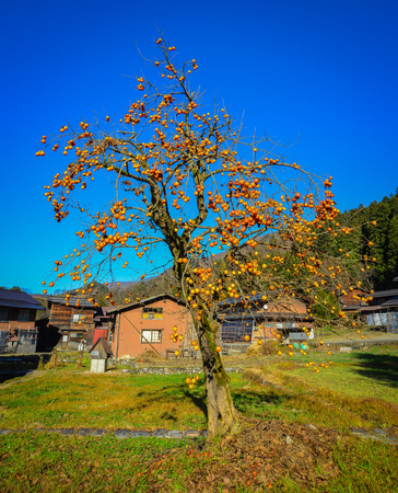 Persimmon tree with fruits at Shirakawa-go Historic Village in Gifu Prefecture, Japan. 스톡 콘텐츠