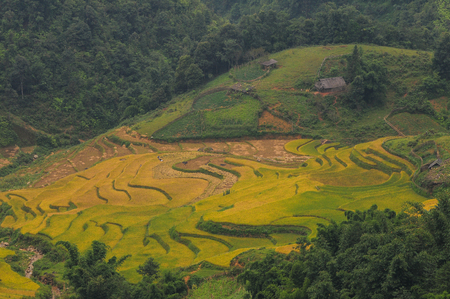 Terraced rice field at sunny day in Sapa, Vietnam. Terraced rice fields are located in the northern mountainous provinces.
