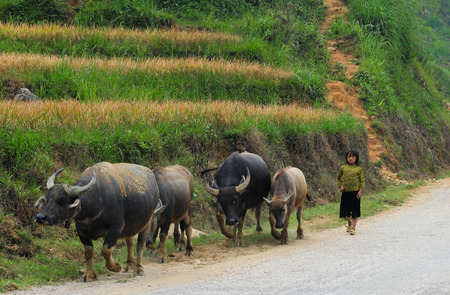 Sapa, Vietnam - Sep 21, 2013. A Hmong girl with buffaloes on road in Sapa, Northern Vietnam. Sa Pa is a town in northwest Vietnam not far from the Chinese border. Editorial