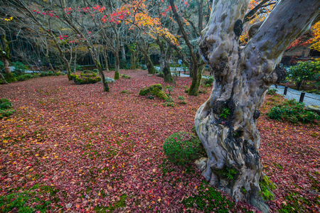 Huge trees at autumn garden with fallen leaves on grass.
