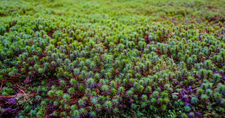 Common haircap moss (Polytrichum commune) in spring time.