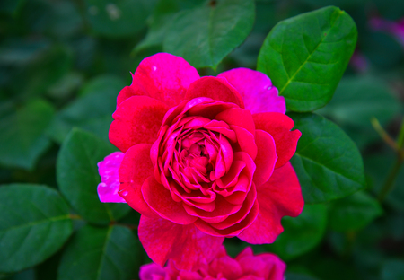 A pink rose blooming at flower park in Tochigi, Japan. Stock Photo