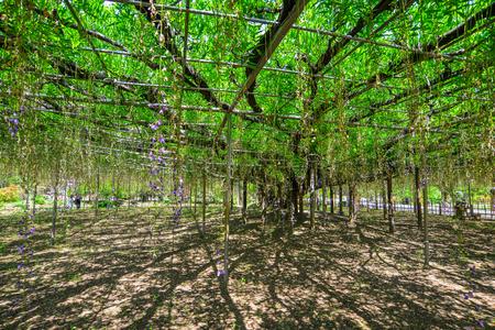 Great Wisteria tree at flower park in Tochigi, Japan.