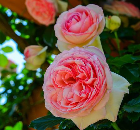 Rose flowers blooming at public park in Tochigi, Japan.
