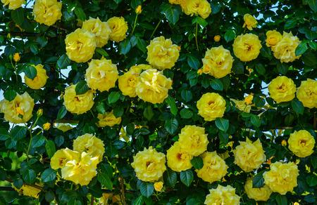Yellow roses blooming at botanic garden in spring time.