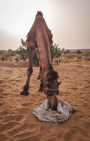 A camel eating on Thar desert in Jaisalmer, Rajasthan State of India.