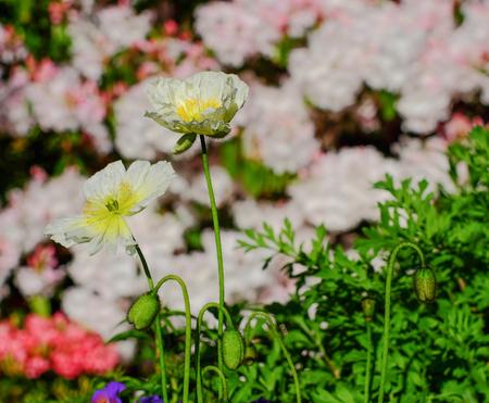White Poppy Flowers At Botanic Garden In Spring Time. Stock Photo ...